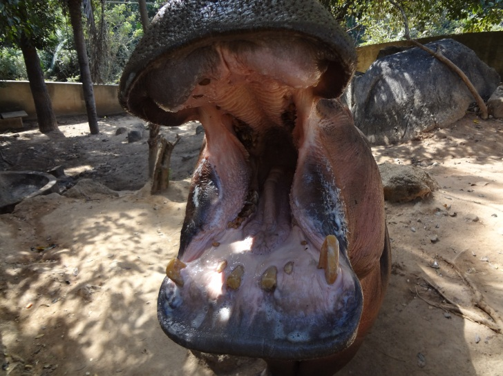 Cosmetic dentistry for hippos in the Kansas City area is a pretty rare specialty